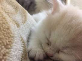 Persian Cats (Kittens) for sale