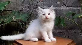 kucing persia medium whitesolid jantan lucu