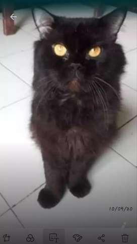 Kucing jantan hitam tidak dijual