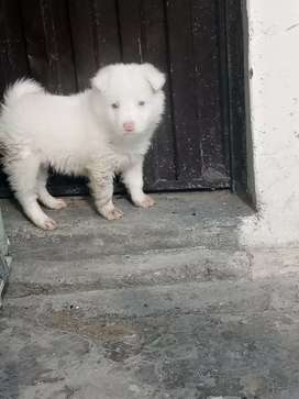 Russian pup for sale