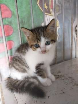 Kucing mixdom persia