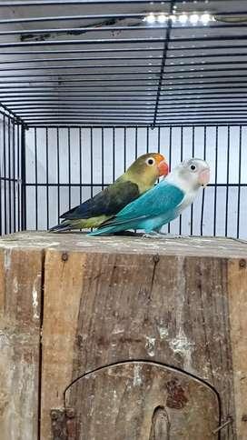 Lovebird biola indukan produksi