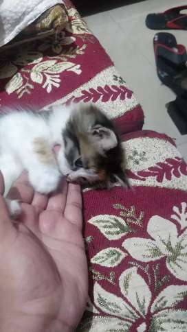 Kitten and adult available