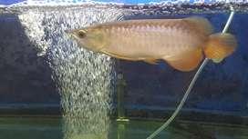 Arwana golden red