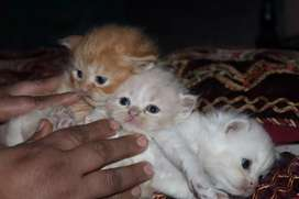 Beatiful kittens persion
