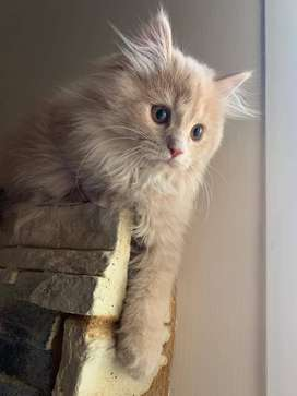 Best quality Persian kittens available