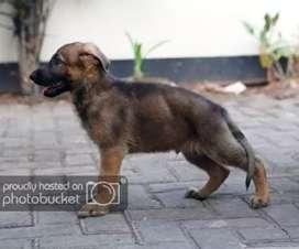 anjing german shepeard