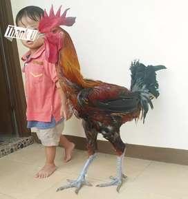 Ayam Pelung Asli, Terpercaya lebih dari 10th di OLX
