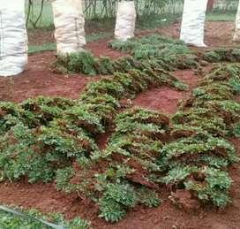 Tukang rumput gajah mini
