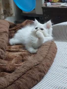 It is a very cute kittens with odd and odd eyes with semi punch face