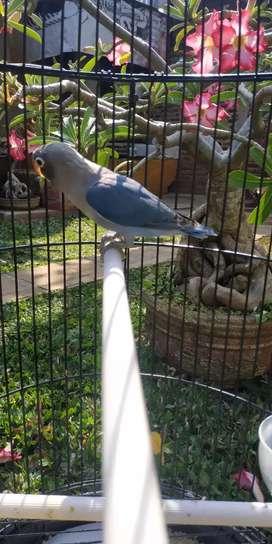 Lovebird biru mangsi baby