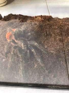 Jual tarantula grammostola pulchripes / chaco golden knee 11±cm