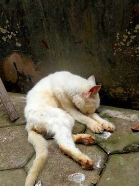 Kucing Persia usia 2taun lagi birahi(betina)