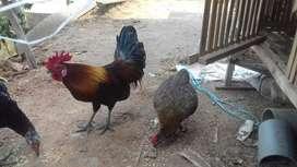 dijual ayam burgo sepasang