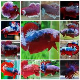 Ikan cupang red fency, HM big ear lavender, cronwtail,Dumbo ear