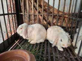 Lop breeder pair for sale