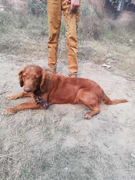 Labroder pointer mix choclate colour