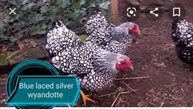 Blue Laced Red or silver Laced wyandotte 2020 ringbird chicks for sale