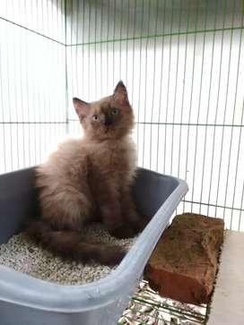 Kucing coklat langka