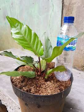 Pohon anthurium black beauty