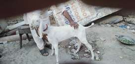 Pure rajanpuri goat for sale