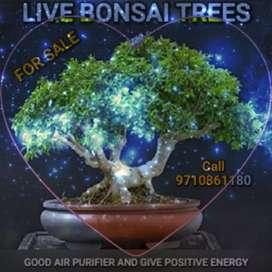 LIVE MINI TREE Decorate Homes with BONSAI TREE good air purifier