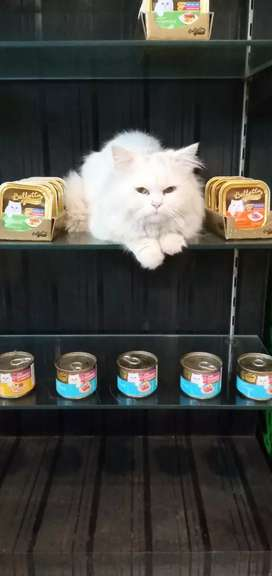 Persian and kittens for sale