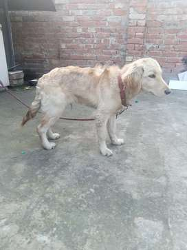 Male golden retriever 3.munth old for sale