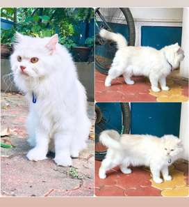 THIS CAT NOT FOR SALE.,1year 8months old persian male cat for crossing