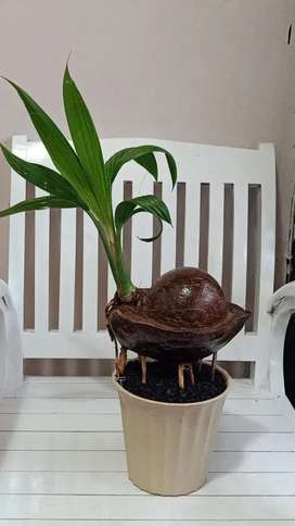 Tanaman Hias Bonsai kelapa mini, unik dan murah