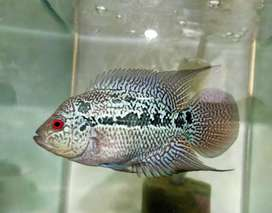 Ikan Louhan Kamfa V8