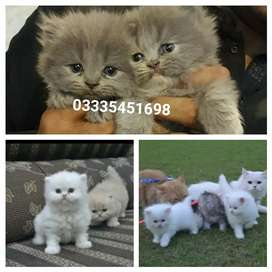 Fluffy PeRsian kittens available