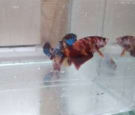 Cupang Nemo galaxy