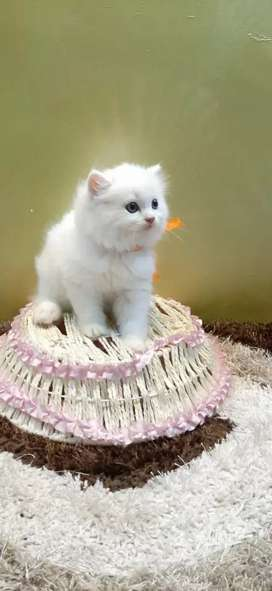Trained  or playfully baby Persian cat kittens  sale