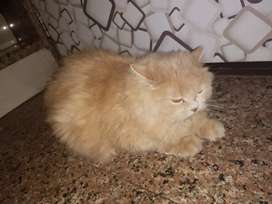 persian cat female for selling punch face