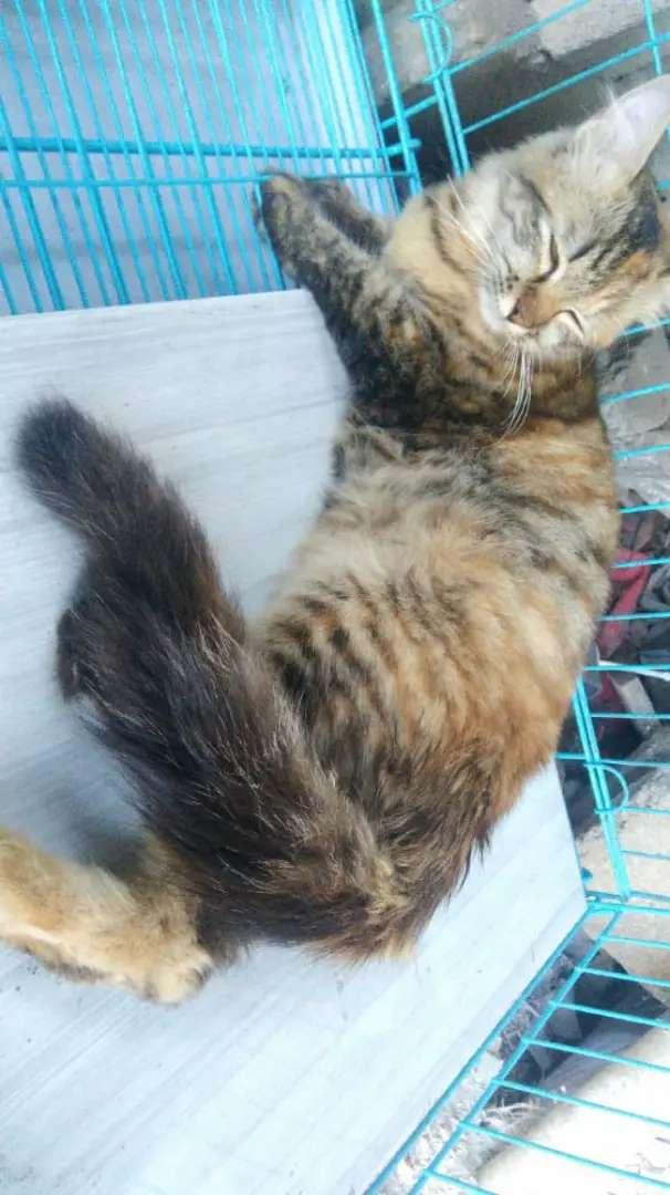 Kucing Persia Medium Betina Long Hair Indukan 9 Bulanan Birahi Terawat 0