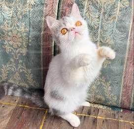 Kucing persia peaknose exotic