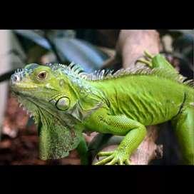 Iguana elsa uk 1,5 m
