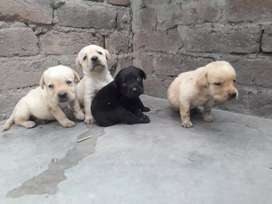 labrador pups available