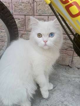 Persian cat male odd eyes