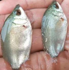 Ikan tebakang ikan alam