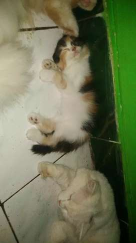 Kucing persia 2bulan