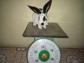 Rex rabbit broken black