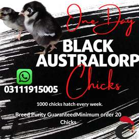 Australorp chicks-Day old A++ breed
