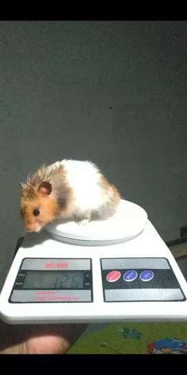 Hamster syirian Long Hair yellow Banded Indukan