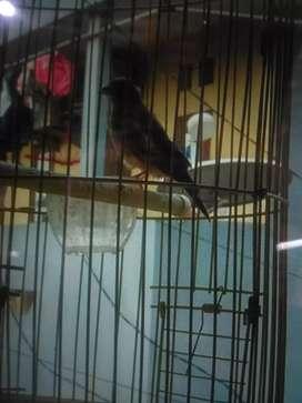 Burung blackstrut gacor ngerol