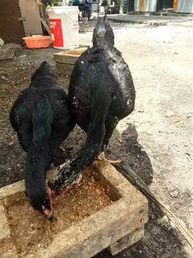 Ayam Bangkok Pangeran