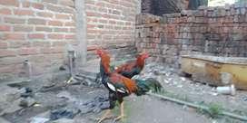 Jual ayam bangkok dua ekor masih lancur  calon petarug handal