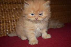 Doll face cat