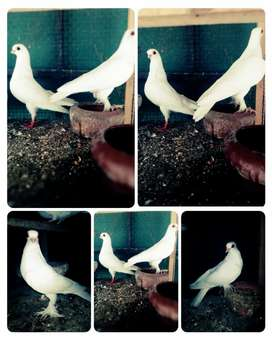 Beautiful cross breed breeder pair for sale.